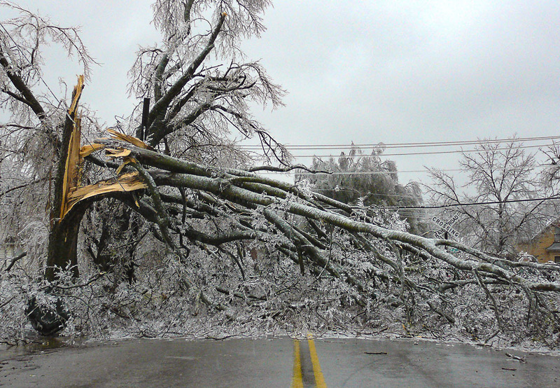 Tree broken by ice accumulation